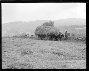 Oxen bringing in the hay up in N.H. North Andover, N.H.