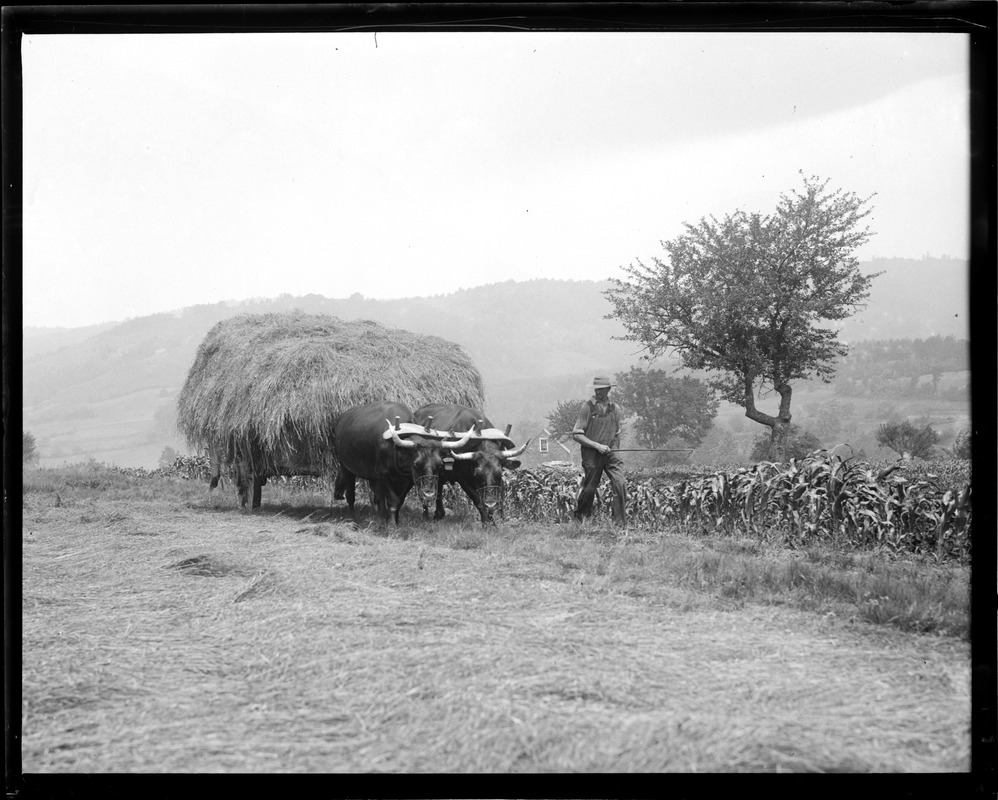Oxen bringing in the hay up in North Andover, N.H.