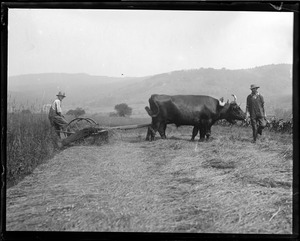 Oxen - up in dear old New Hampshire, cutting hay