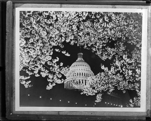 U.S. capitol at cherry blossom time
