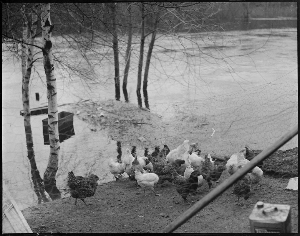Chickens in yard threatened by flood water