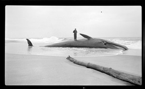 Whale on beach of Cape Cod