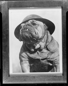 Bulldog with hat