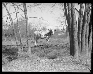 Cow in wooded pasture