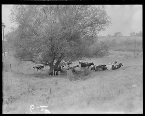 Cows on the land
