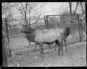 American Elk Wapiti, Franklin Park Zoo. Formerly distributed throughout one fourth of North America, now found only in portions of Colorado, Wyoming, Idaho, Montana, Washington, Manitoba, British Columbia and Vancouver Island.