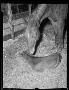 Colt being foaled
