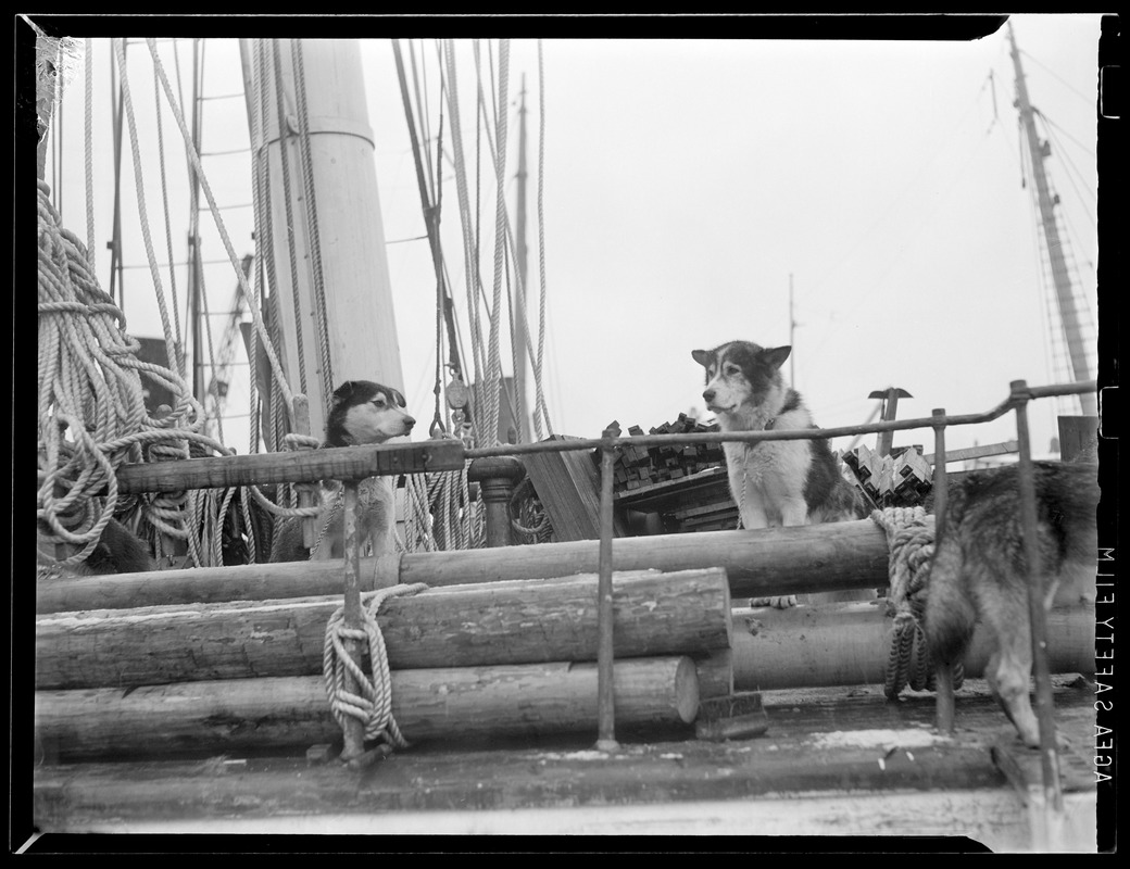 Sled dogs aboard Admiral Byrd's SS North Star