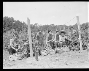 Boys picking tomatoes