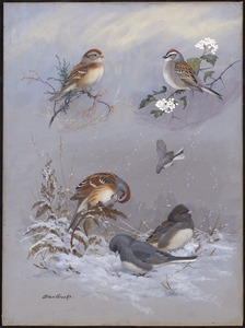 Plate 71: Field Sparrow, Chipping Sparrow, Tree sparrow, Slate-colored Junco