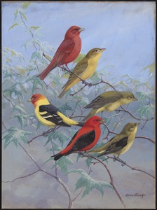 Plate 75: Summer Tanager, Western Tanager, Scarlet Tanager