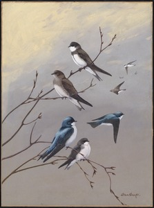 Plate 77: Bank Swallow, Rough-winged Swallow, Tree Swallow