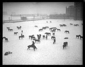 Horses frolic in snow, Commonwealth Armory