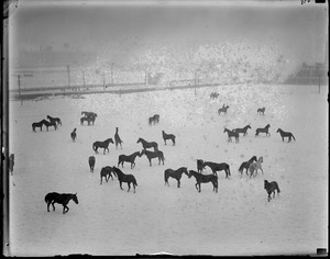 National Guard calvary horses frolic in the snow at Commonwealth Armory