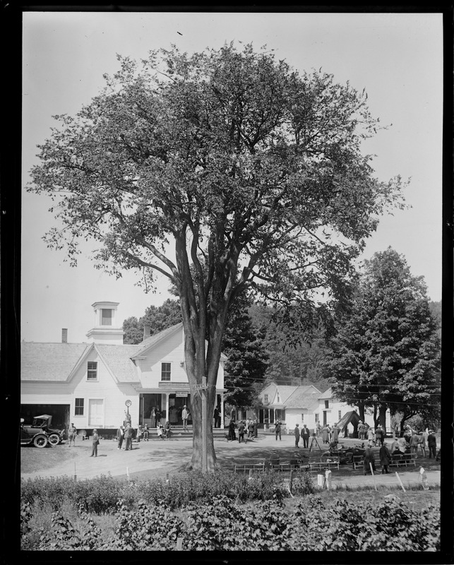 125 year old Elm in front of Pres. Coolidge's birthplace in Plymouth, VT