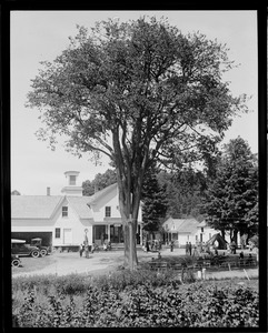 Old elm at Coolidge's birthplace in Plymouth, VT