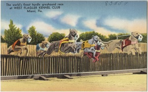 The world's finest hurdle greyhound race at West Flagler Kennel Club, Miami, Florida