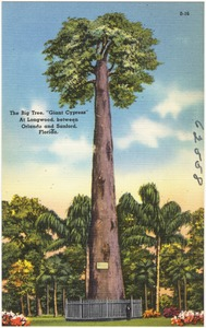 "The big tree, ""Giant Cypress,"" at Longwood between Orlando and Sanford, Florida"