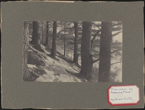 Pines in snow on hill near Baldwin's Pond