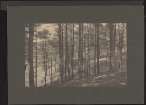 Pines on hillside at Baldwin's Pond