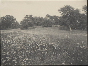 Alfred W. Cutting's field of daisies, orchard and stone wall