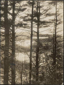 Tall pines overlooking Baldwin's Pond