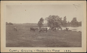 Cattle grazing at Baldwin's Pond