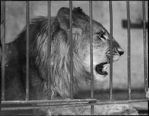Angry lion in cage