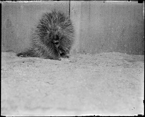 Angry porcupine in captivity