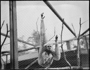Monkeys in Buck's Zoo, N.Y.