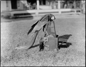 Cocoa - parrot taking a picture at Red Gables, New London, N.H. - vacation days
