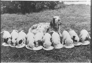 Dogland dinner - spotted English setter, mother and young