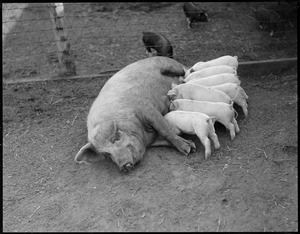 Mother pig and sucklings at Mass Agricultural College