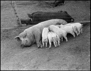 Mother pig & little ones nursing at Mass. Agricultural College - Amherst