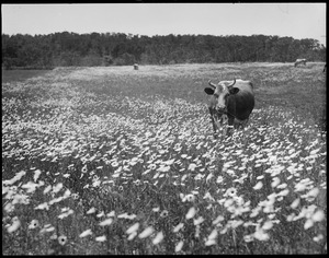 Cow in the daisies, Cape Cod