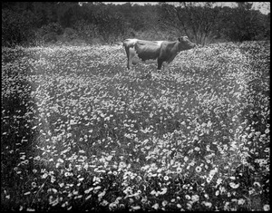 Cow grazing amongst the daisies, Cape Cod