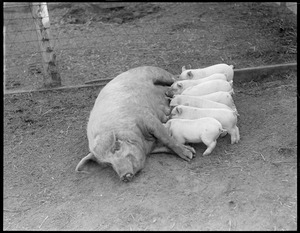 Mother pig & young - mother pig and little ones feeding, Mass. Agri. College, Amherst, Mass.