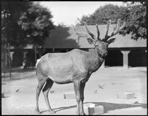 American elk - male - Franklin Park Zoo
