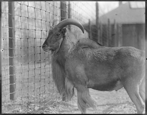 Aoudad, or Barbary sheep, of Africa - Franklin Park Zoo