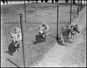 Zebras and sacred cows side by side