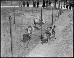 Zebras and sacred cows at Franklin Park Zoo