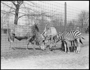 Zebras and sacred cows get friendly at Franklin Park Zoo