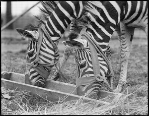 Zebras at Franklin Park Zoo eat out of same trough