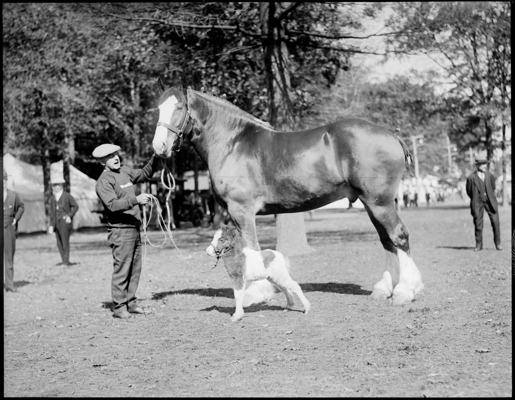 Large Small Draft Horse And Tiny Pony Digital Commonwealth