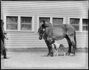 Famous draft horse Ring and Shetland pony baby Small Package Jr. at one week old at Vacation Farm in Methuen