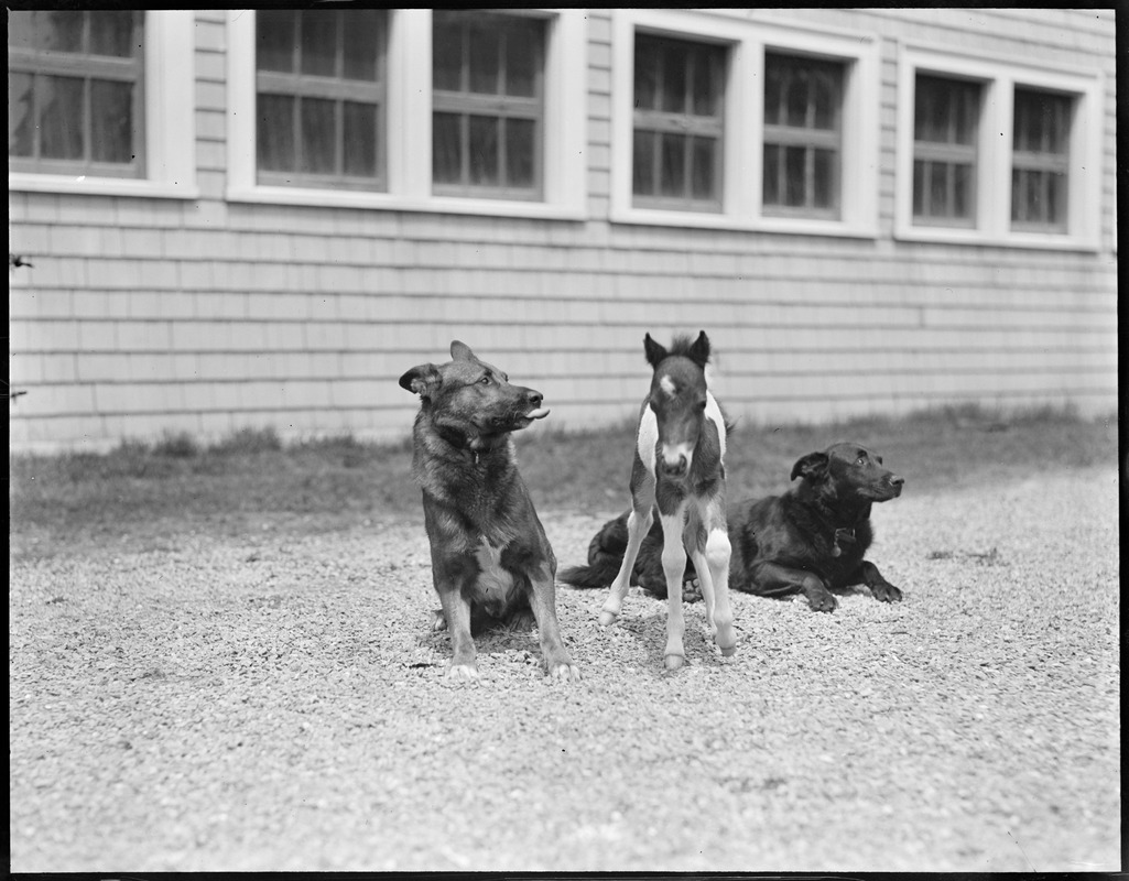 Prince, left, and Boots guard Small Package Jr., one week old Shetland pony at Vacation Farm in Methuen