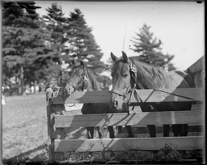 Two horses with Weymouth Fair ribbons