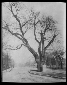 The Washington Elm Massachusetts, Cambridge