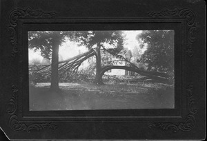 Tree damage, July 5, 1911
