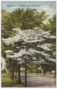 Dogwood Tree, in Druid Hills, Atlanta, Ga.